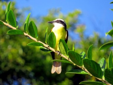 Great Keskadee Flycatcher
