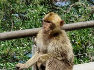 One of the Barbary Apes (actually monkeys) at Gibraltar.