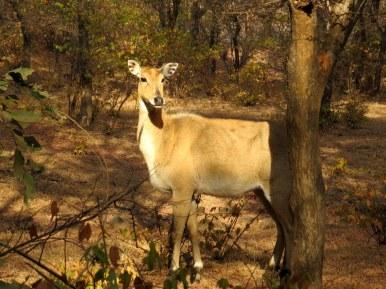 Antelope, Ranthambore National Park