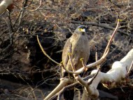 Crested Serpent Eagle, Ranthambore National Park