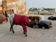 Goat Fashionista, Varanasi
