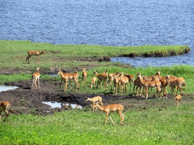Impala at Chobe National Park