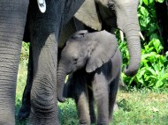 Cute baby elephant, Chobe National Park