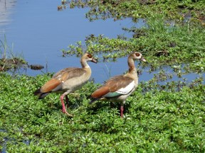 Egyptian Geese, Chobe National Park