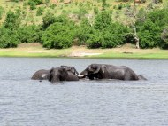 Afternoon bath in the Zambezi River, Chobe National Park