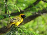 Southern Masked Weaver. The males build the nest; if the female doesn't like she tears it apart and he has to start all over.