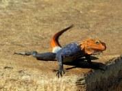 Rock Agama Lizard