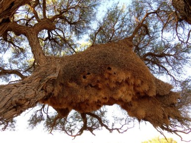Sociable Weaver nest. Up to 100 birds might live there