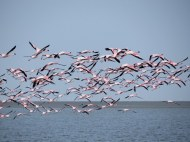 I've never seen flamingo's flying