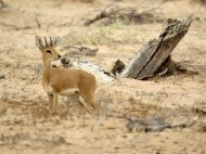 Adult Steenbok - They are really small and don't stick around for photos.