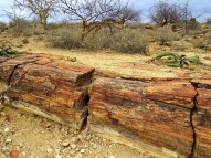 Petrified forest in Damaraland