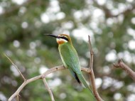 White-fronted Bee eater