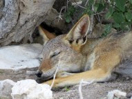 Sleepy Black-backed Jackal