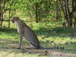 Cheetah at Ongava Game Reserve