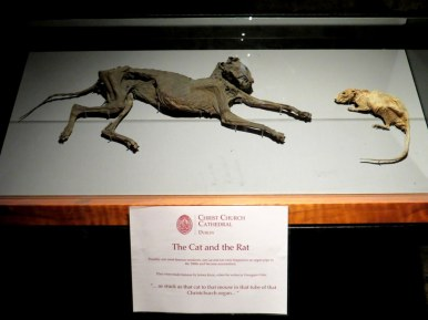 The cat and the mouse that got stuck in the pipe organ and were mummified. Christ Church Cathedral