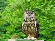 Wise Old Owl at Dunrobin Castle