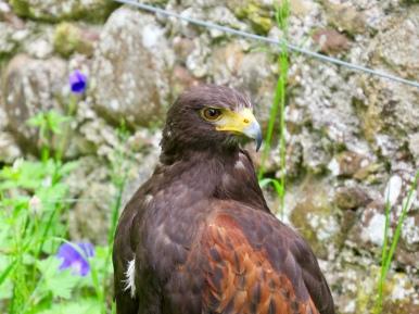 Hawk at the Falconry Display